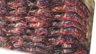 生きてるうちに一度は食べたい!!幻のエビ『ぶどう海老』をご存知ですか?旬・産地・食べ方